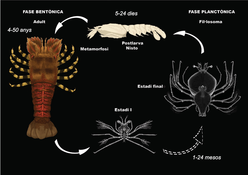 The life cycle of Slipper lobster