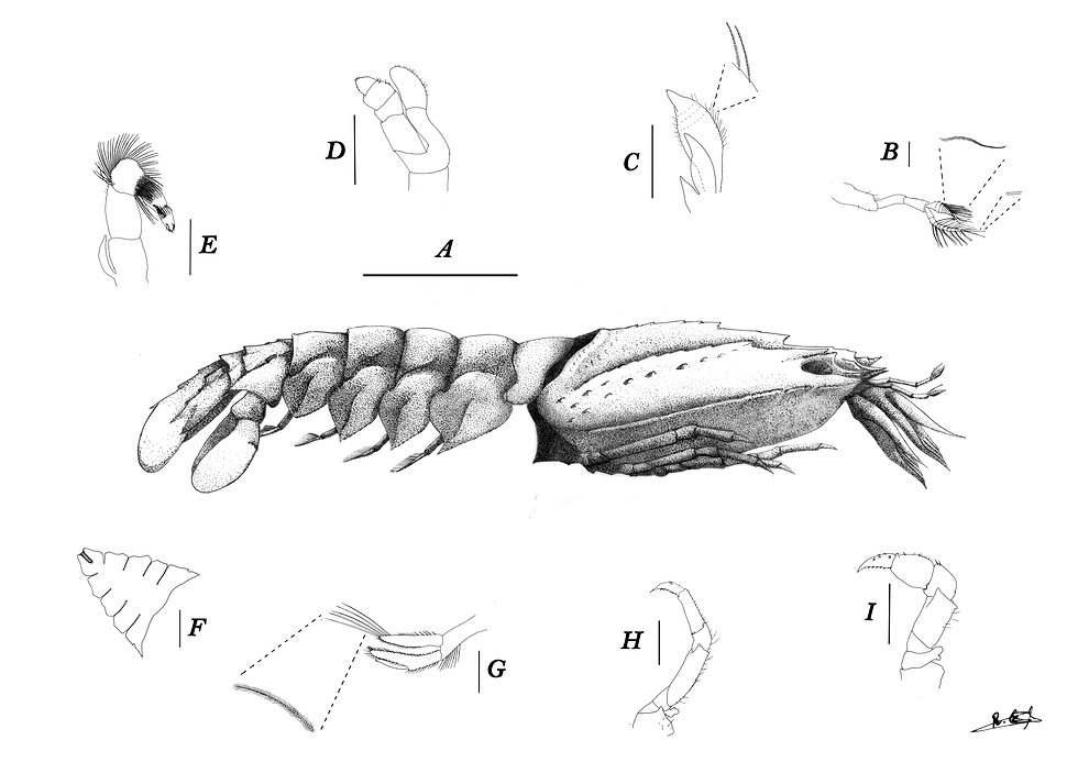 Nisto of slipper lobster