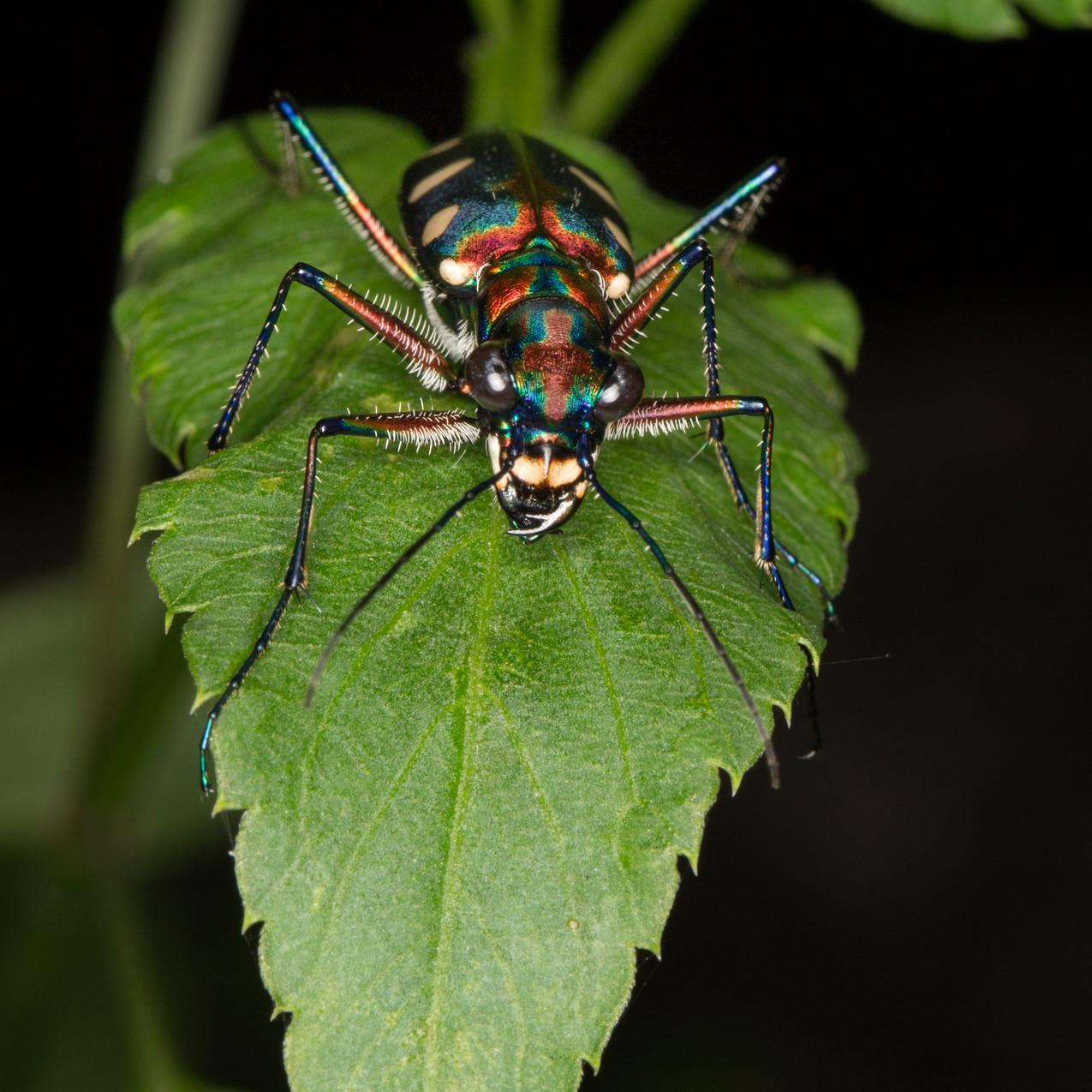 Tiger Beetle  Cicindela aurulenta 4