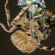 Araneidae (Likely Neoscona sp.)