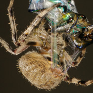 Araneidae (Likely Neoscona sp.)