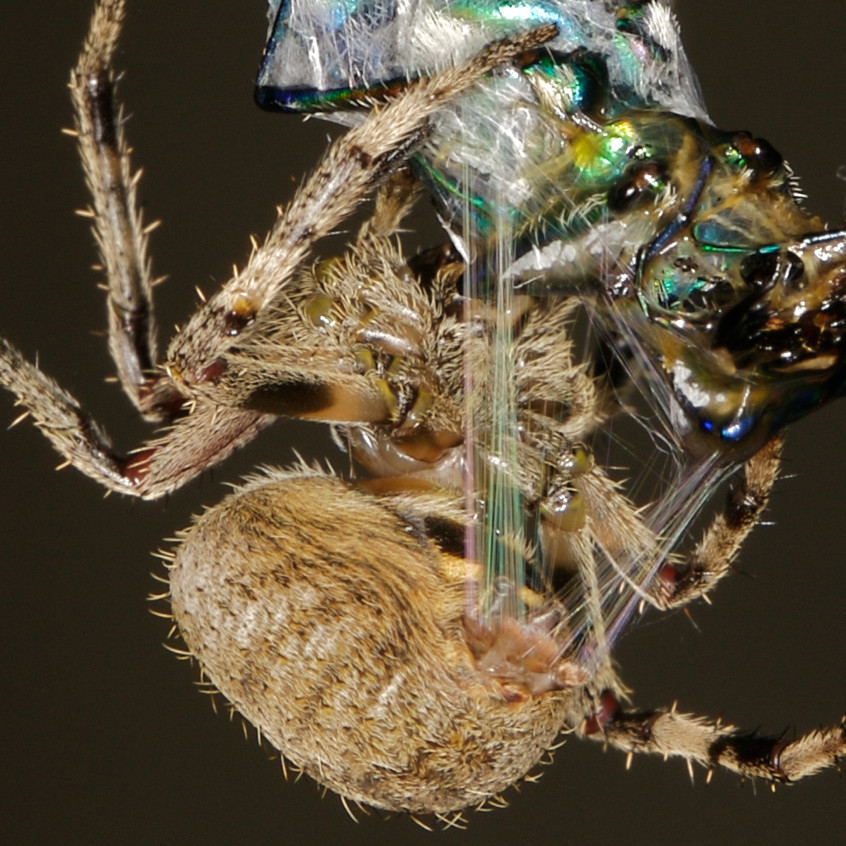 tiger beetle spy bug 2009 9