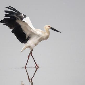 The Oriental Stork often flaps its wings when it walks.