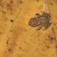 Baby Common Asian Toad