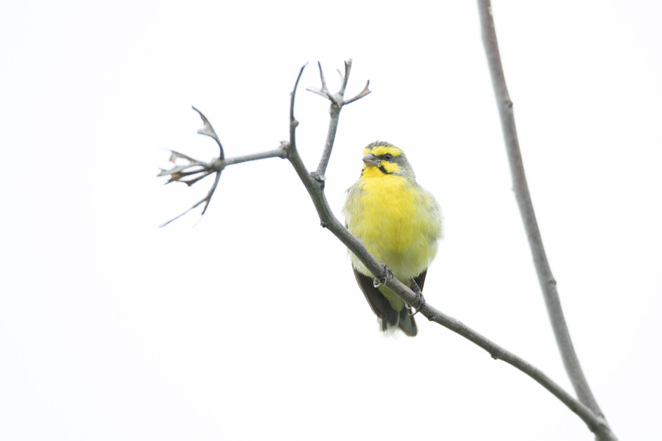 Did you know we had wild Canaries in Hong Kong?
