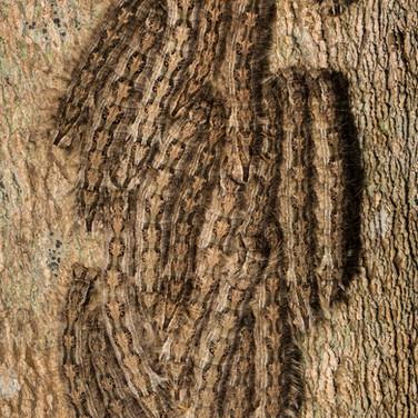 Catepillars - Macroglossum