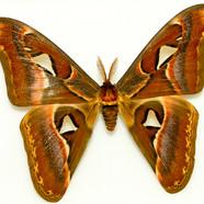 atlas moth - Attacus atlas