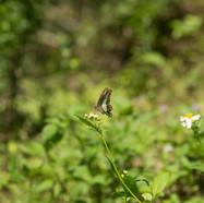 Common bluebottle - Graphium sarpedon
