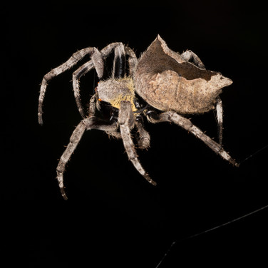 A type of orb-web spider - Parawixia dehaani