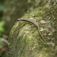small forest skink