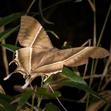 Lyssa zampa, tropical swallowtail moth