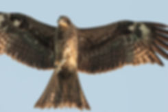 black kite hong kong