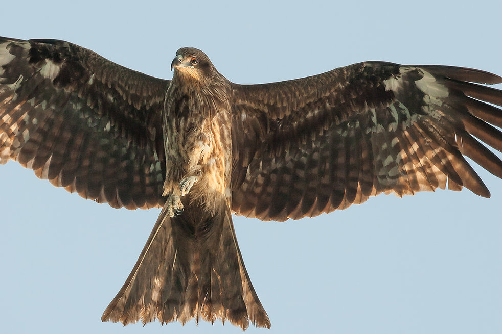 black eared kite milvus migrans soars over hong kong
