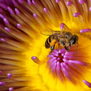Honey Bee in a lily
