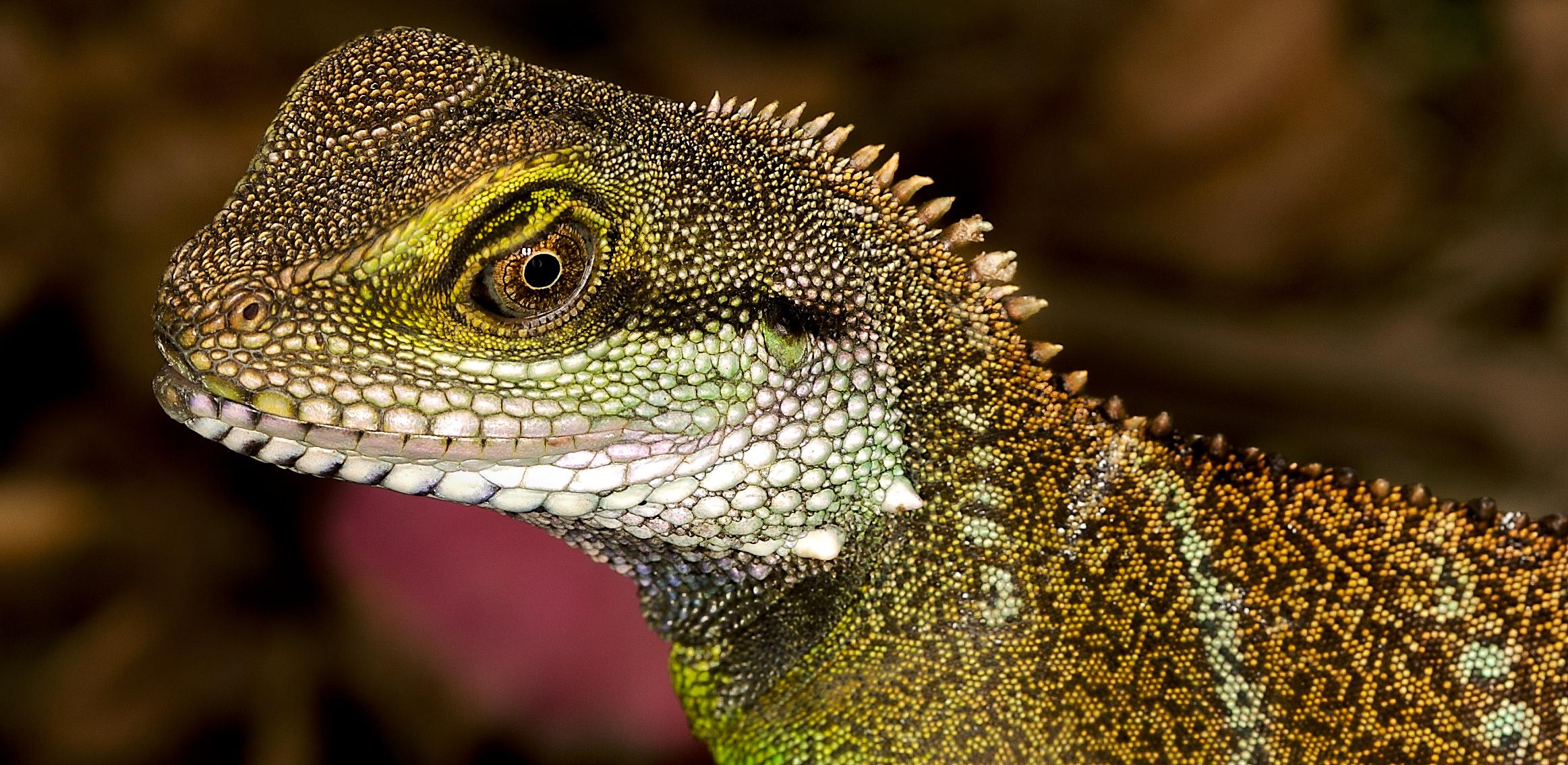 Dragon Agama