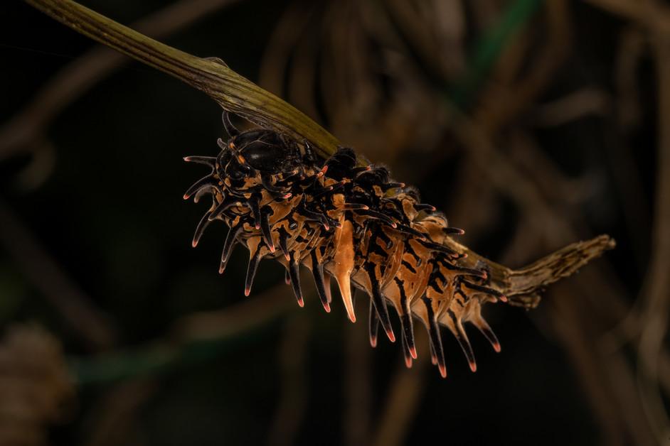 Birdwing  Caterpillars