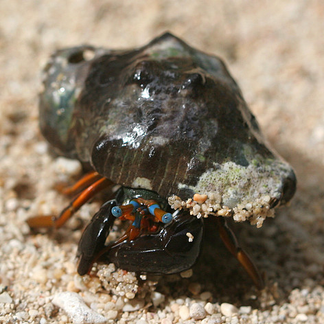 A Hermit Crab on the beach of Big Wave Bay