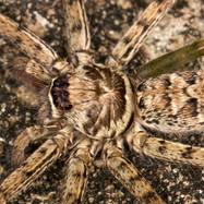 Huntsman spider - Heteropoda venatoria
