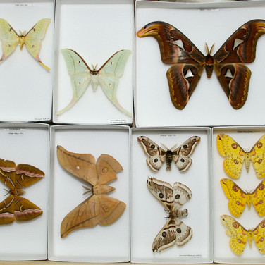 Atlas and other moths