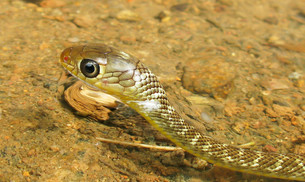 Snake swimming in clear rivers