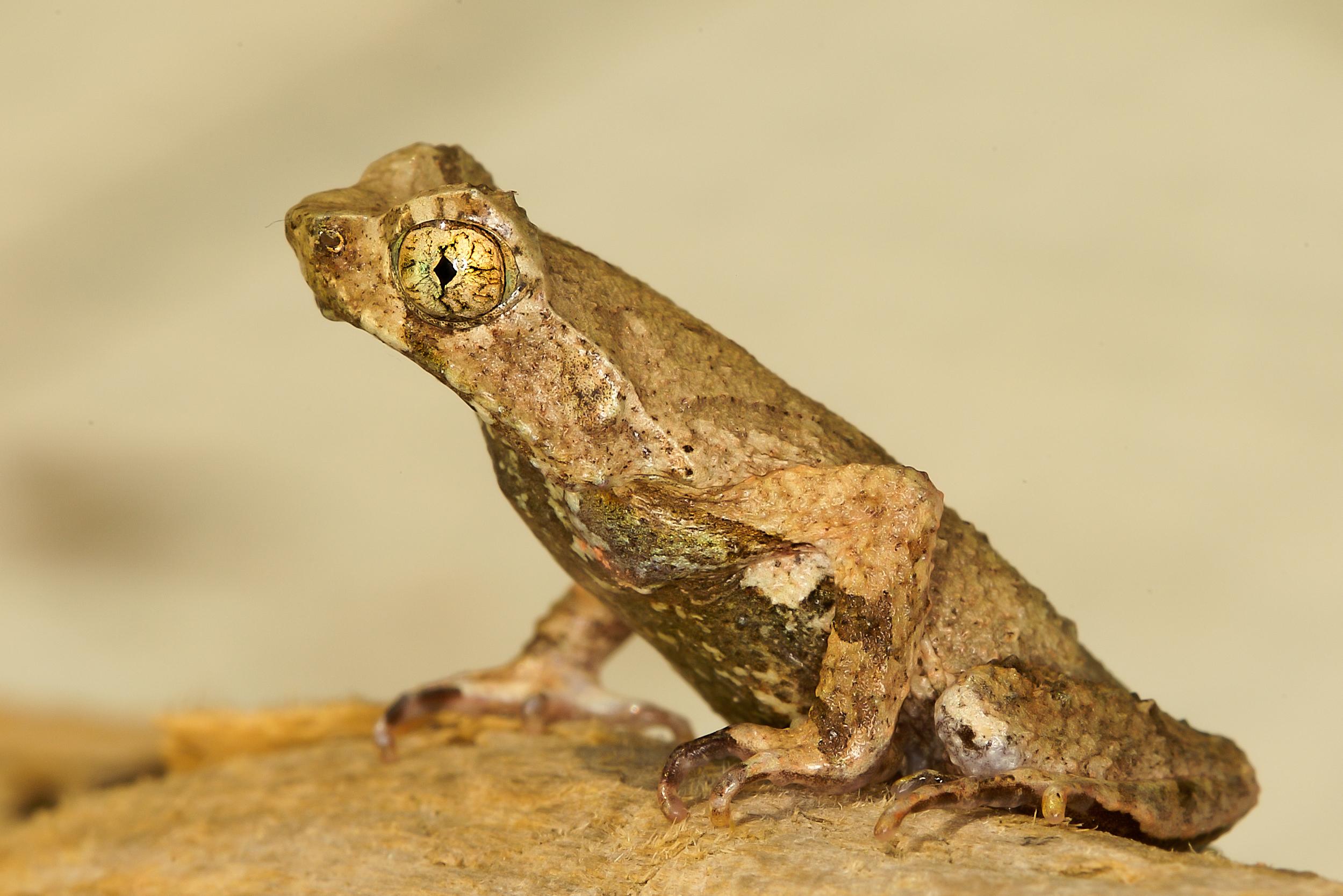Square Eyed leaf litter frog