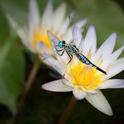 Asian Pintail