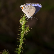 A pretty blue butterfly a Plains Cupid - Chilades pandava