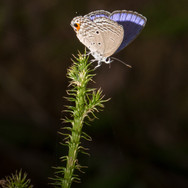 A pretty blue butterfly a Plains Cupid - Chilades pandava