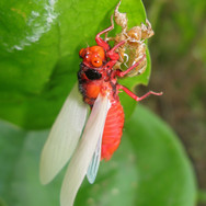 Red-nosed Cicada ermerging
