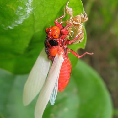 Red-nosed Cicada ermerging