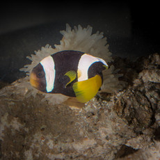 Hong Kong Clown fish