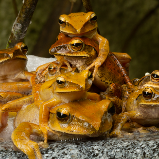 brown tree frogs mating