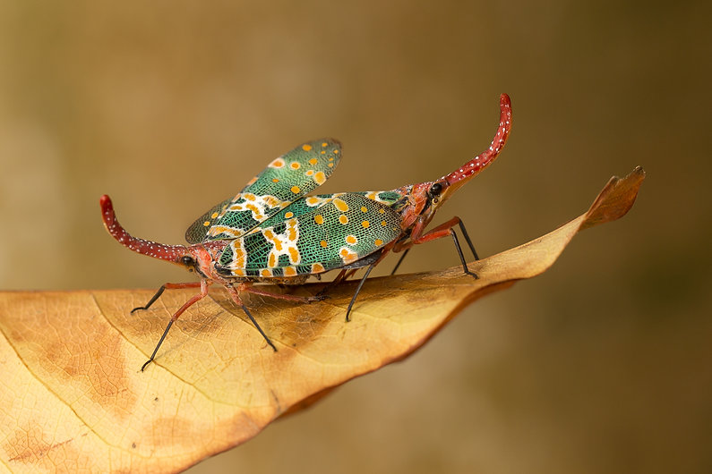 lanter bug mating