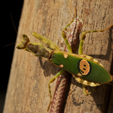 This is a flower mantis