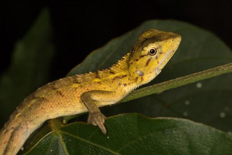 A changealbe lizard sleeps at night