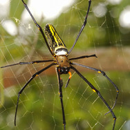 Golden silk orb-weaver spider - Nephila pilipes
