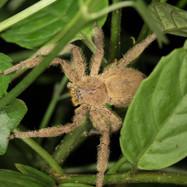 huntsman - Heteropoda pingtungensis
