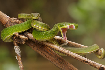 Bamboo pit-viper bares its fangs