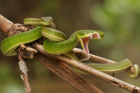 A Bamboo pit-viper bares its fangs
