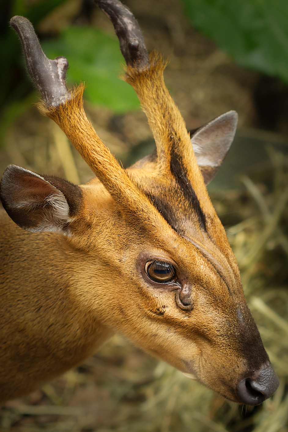 The barking deer