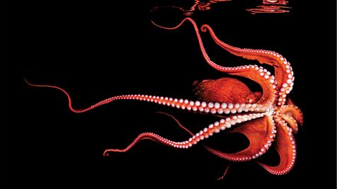 soul of an octopus cover, octopus