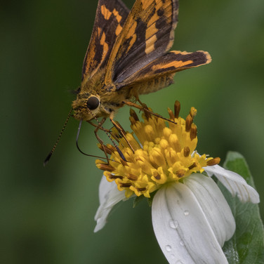 A dart butterfly - Potanthus trachala / confucius