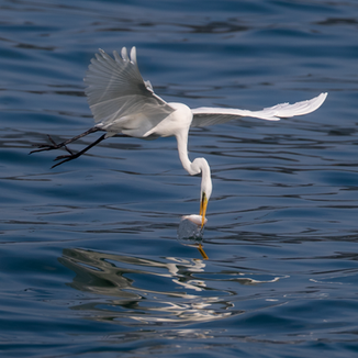 Great Egret with catch