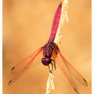 Male Crimson Dropwing Dragonfly