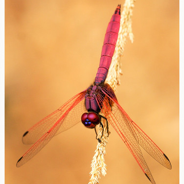 Male Crimson Dropwing Dragonfly