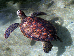 Hawksbill Turtle coming up for fresh air