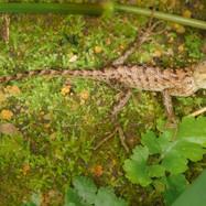 Juveniel Changeable Lizard