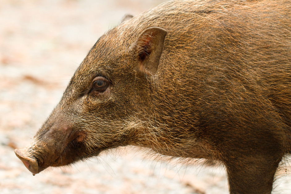 What do you call a group of boars?