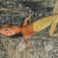 Male Changeable Lizard in breeding colours