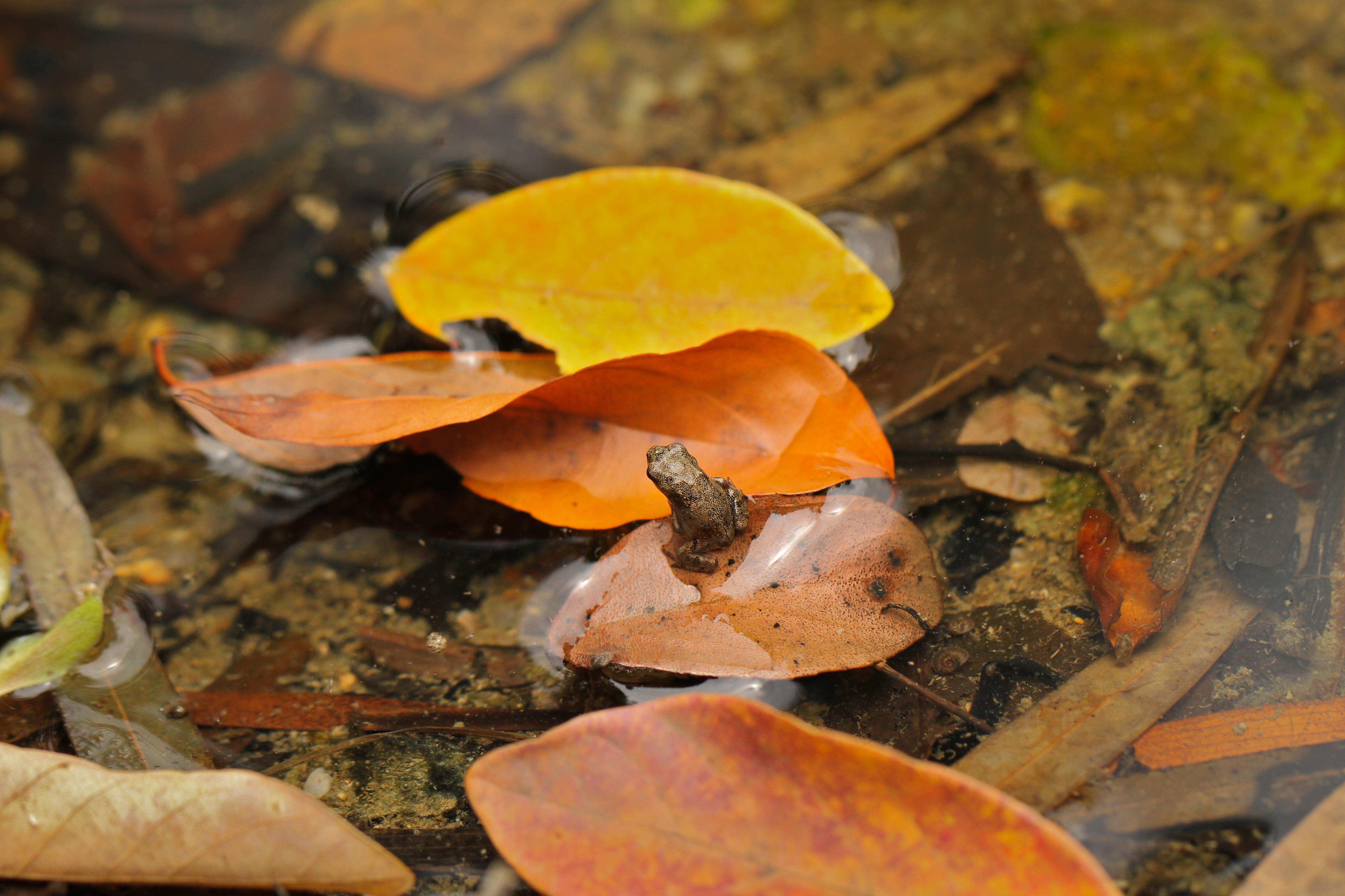 Frog Hatchling